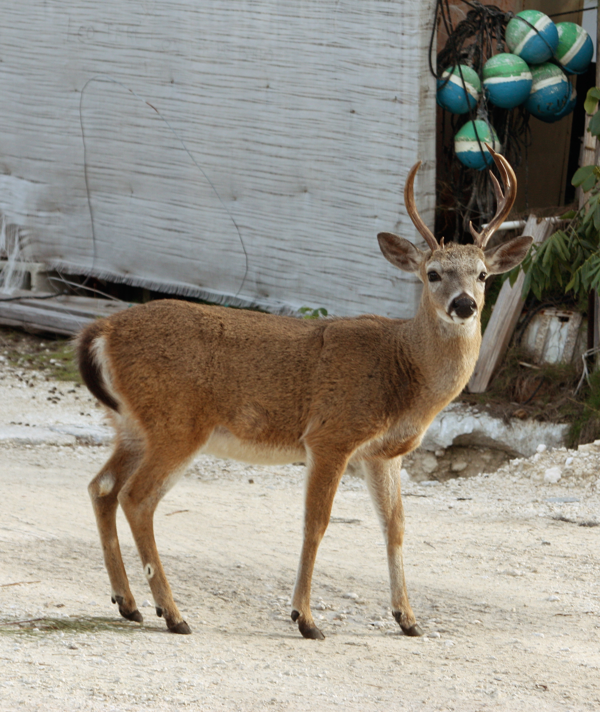 IndigoSUP team Big Pine Key deers
